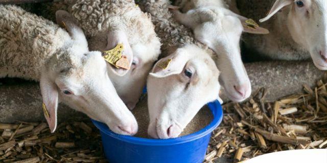HL-TopMix удължава своята промоция за овцевъдните стопанства до 30 април