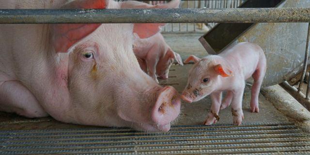 Новият Wisan® Omega е иновация за рентабилно хранене в свиневъдните стопанства