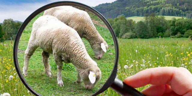 7 стъпки за повишаване на млеконадоя в овцефермата