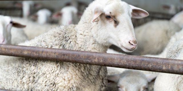 Как да подобрим продуктивността в овцефермата в няколко стъпки?