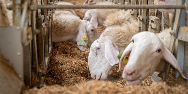 Хранене на овце, кочове и агнета