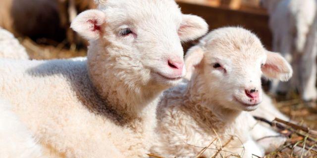 Хранене на овце, кочове и агнета - трета част