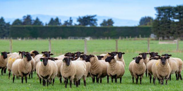 Хранене на овце, кочове и агнета - втора част