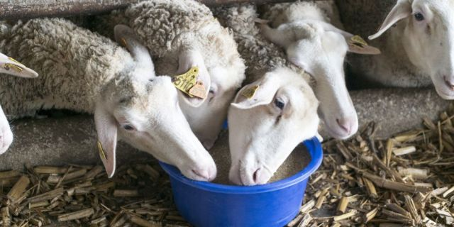 За здрави и продуктивни овце - осигурете им нужните витамини и минерали