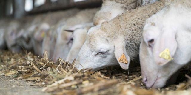 Как правилно да храним овцете и агнетата в началото на пролетта?