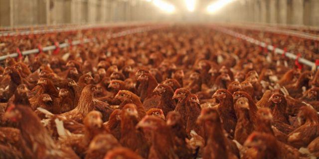 Предизвикателствата при свободно отглеждане на кокошки-носачки
