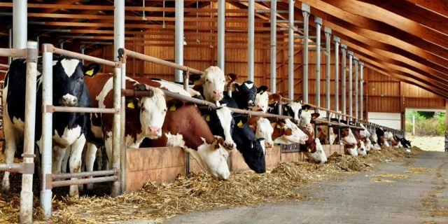 Експертите съветват: Дайте приоритет на кравите преди отелване