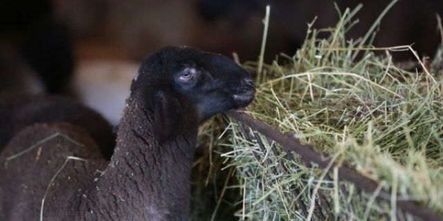 Балансираното хранене: Фaктор влияещ върху продуктивността в млечното овцевъдство